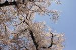 春の池上本門寺:桜①