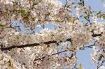 春の池上本門寺:桜③