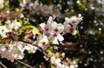 春の池上本門寺:桜④