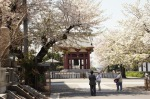 春の池上本門寺:桜②
