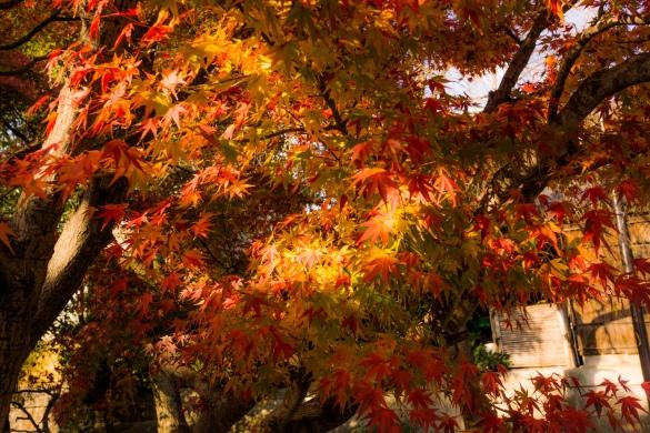 金閣寺にて⑧ 紅葉
