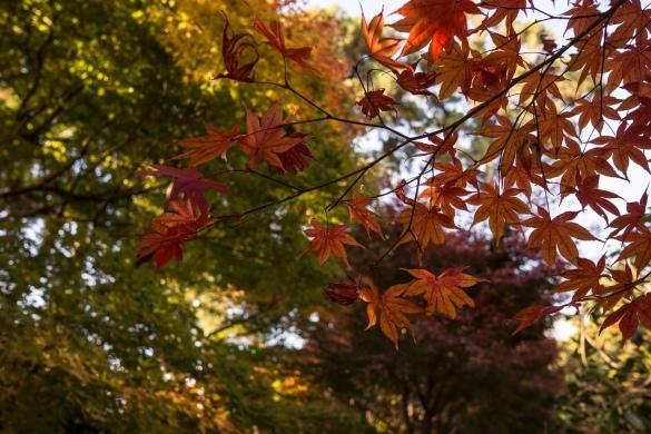 金閣寺にて⑨ 紅葉
